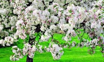 Декоративные яблони: секреты выращивания