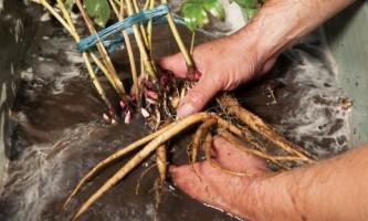 Деление травянистых пионов. Мастер-класс