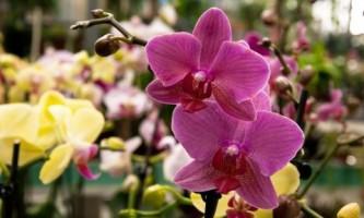 Фаленопсис: все о самой популярной орхидее