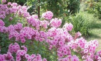 Флокс метельчатый: весенняя посадка и уход
