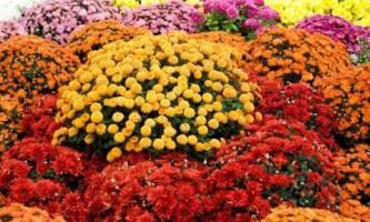 Хризантемы - главные цветы сентября