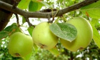 Яблоня и груша: как правильно обрезать?
