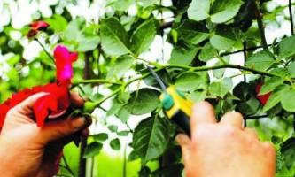 Как обрезать розы?