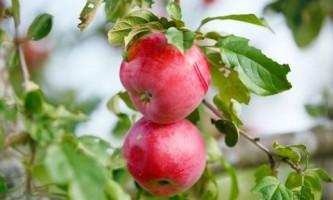 Как правильно обрезать яблоню (видео)