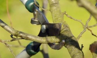 Как проводят весеннюю обрезку косточковых деревьев?