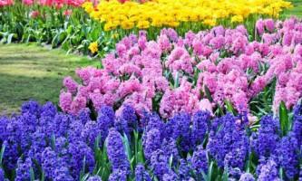 Как сделать цветник из луковичных цветов?
