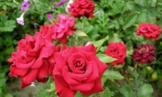 Как ухаживать за розами
