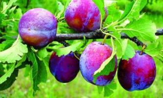 Как улучшить плодоношение сливы?