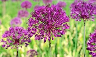 Фотогалерея. Цветение декоративных луков