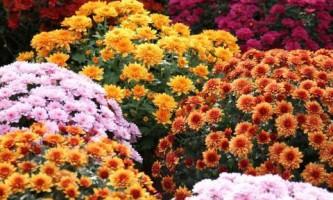 Как вырастить хризантемы на даче?
