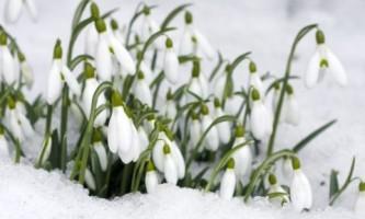 Как вырастить первые весенние цветы