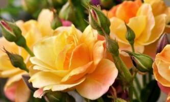 Как вырастить розы на участке
