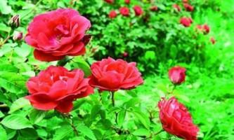 Канадские парковые розы: посадка и уход