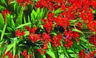 Крокосмия: эффектное растение для сада