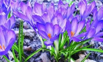 Крокусы: как добиться отличного цветения?