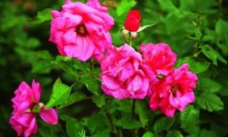 Фотогалерея. Чайно-гибридная роза – королева цветников