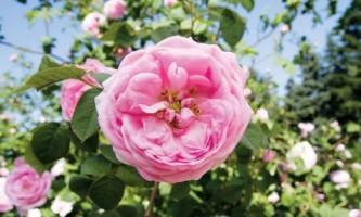 Лучшие сорта парковых роз