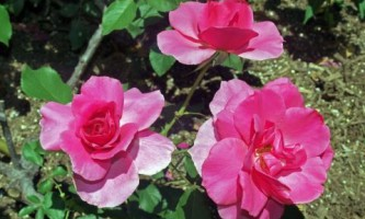 Лучшие сорта роз грандифлора (фото)