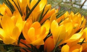 Луковичные: правила посадки крокусов, тюльпанов, лилий