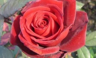 Май: время обрезать розы