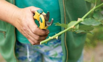 Мастер-класс: черенкование роз (фото)