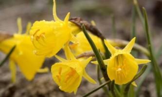Нарцисс: правила посадки и выращивания