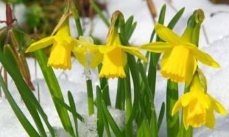 Нарциссы - главные весенние цветы