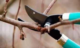 Обрезка деревьев абрикоса