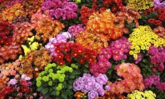 Обзор популярных сортов хризантем (фото)