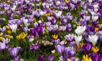 Фотогалерея. Крокусы - первые цветы весны