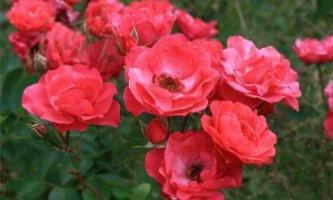 Осенняя посадка роз: главные правила
