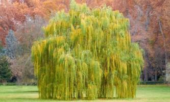Плакучие деревья в наших садах