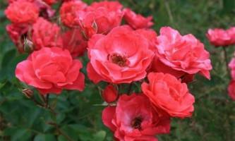 Популярные сорта и группы роз
