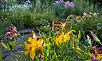 Популярные сорта лилейников (фото)