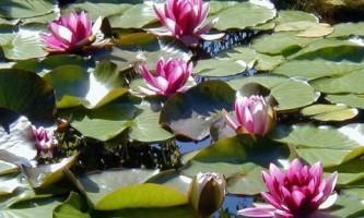 Растения для водоема: что посадить?