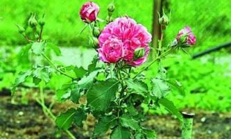 Розы: правила посадки