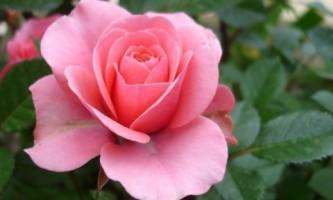 Розы: правила ухода за королевой цветов