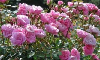 Розы: выбираем место для посадки