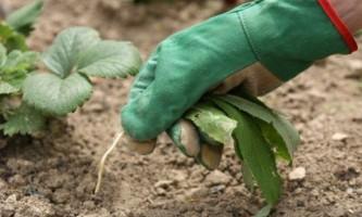 Сорняки на огороде: правила профилактики