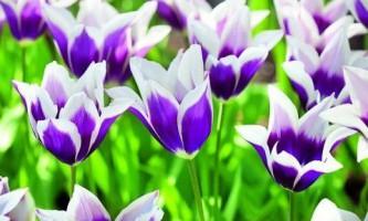Тюльпаны: все тонкости выращивания