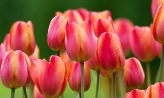 Тюльпаны - выращивание, сорта, размножение