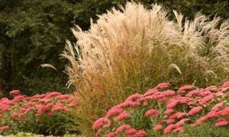 Топ-12 декоративных злаков для сада трав