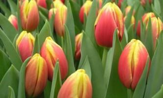 Фотогалерея. Удивительное цветение эксклюзивных сортов тюльпанов