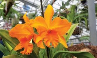 Уход за домашними орхидеями