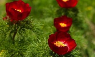 Восхитительное цветение видовых пионов