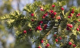 Выбираем зимние и весенние растения для украшения сада