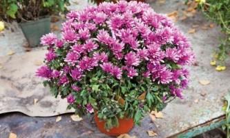 Выращиваем крупноцветковые хризантемы