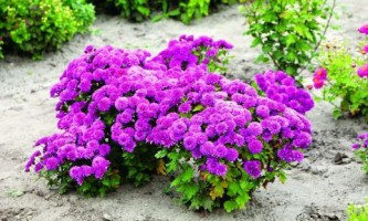 Выращиваем мелкоцветковые хризантемы