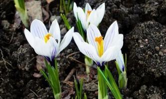 Фотогалерея. В центральной украине распускаются первоцветы